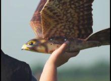 Robird, Robot Burung Mirip Banget Asli - Video Teknologi